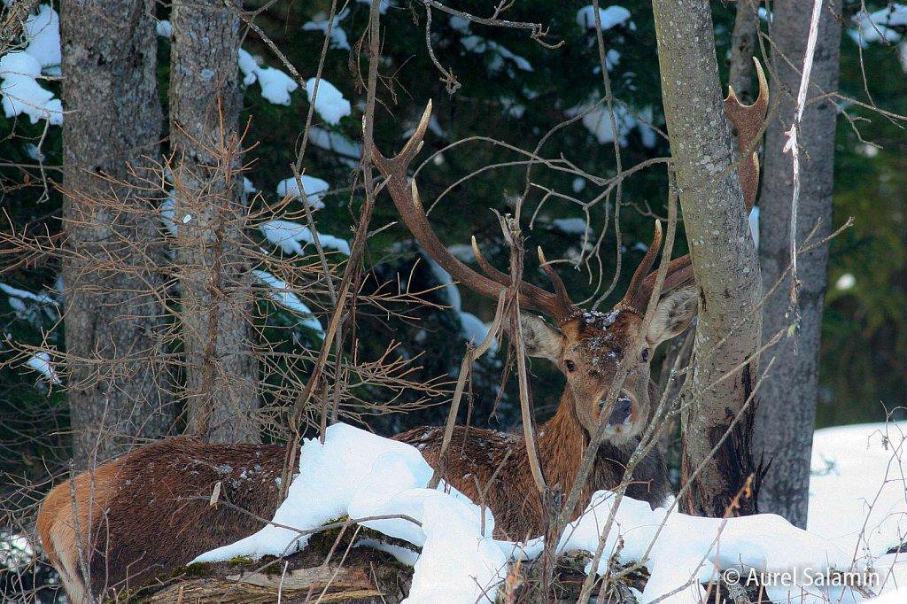 Cerf-en-hiver-022Mp3.JPG