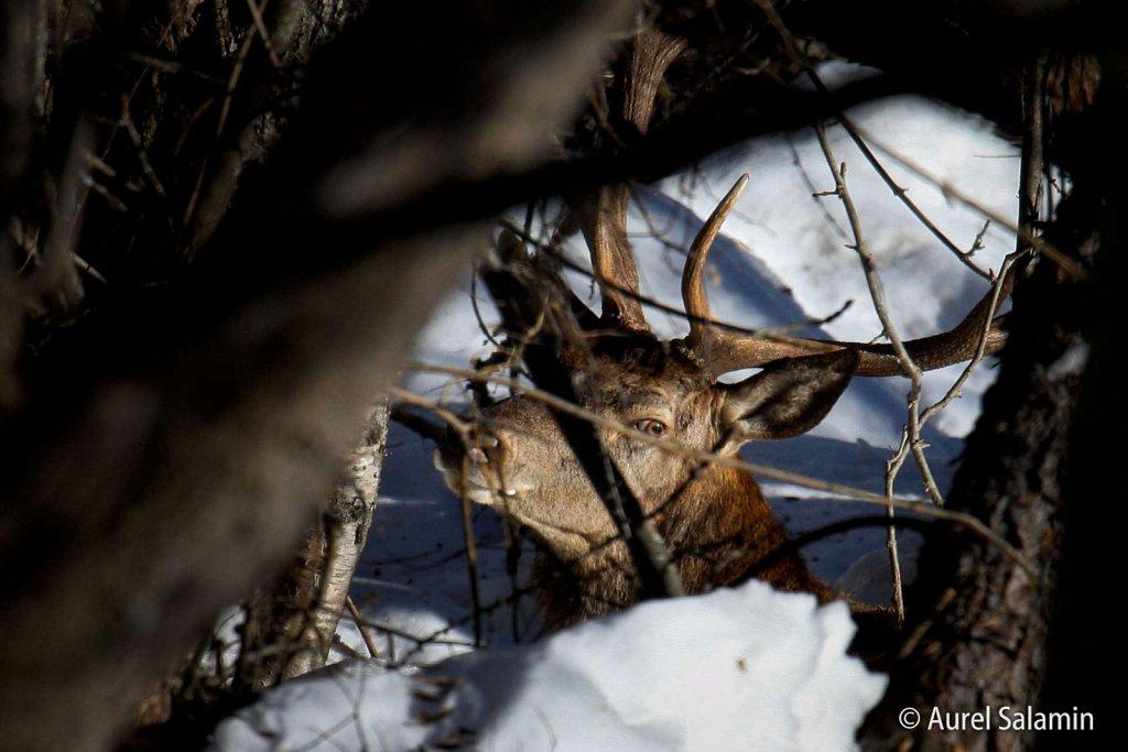 Cerf-hiver-09-219.JPG