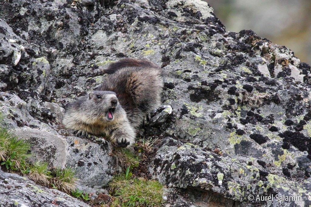 Marmottes-104.JPG