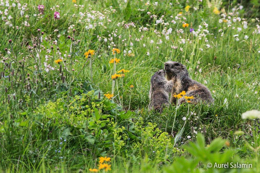 Marmottes-193.JPG